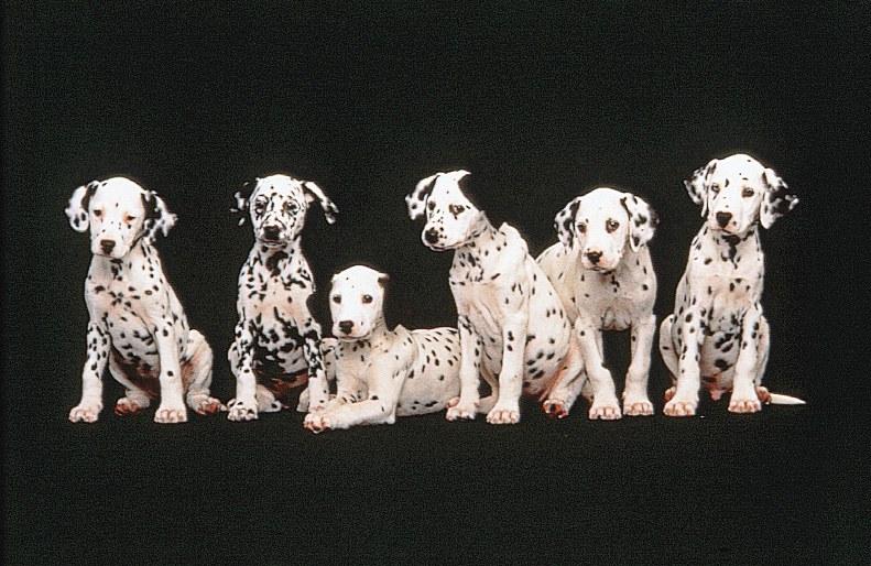 101 Dalmatiner - Bild 7