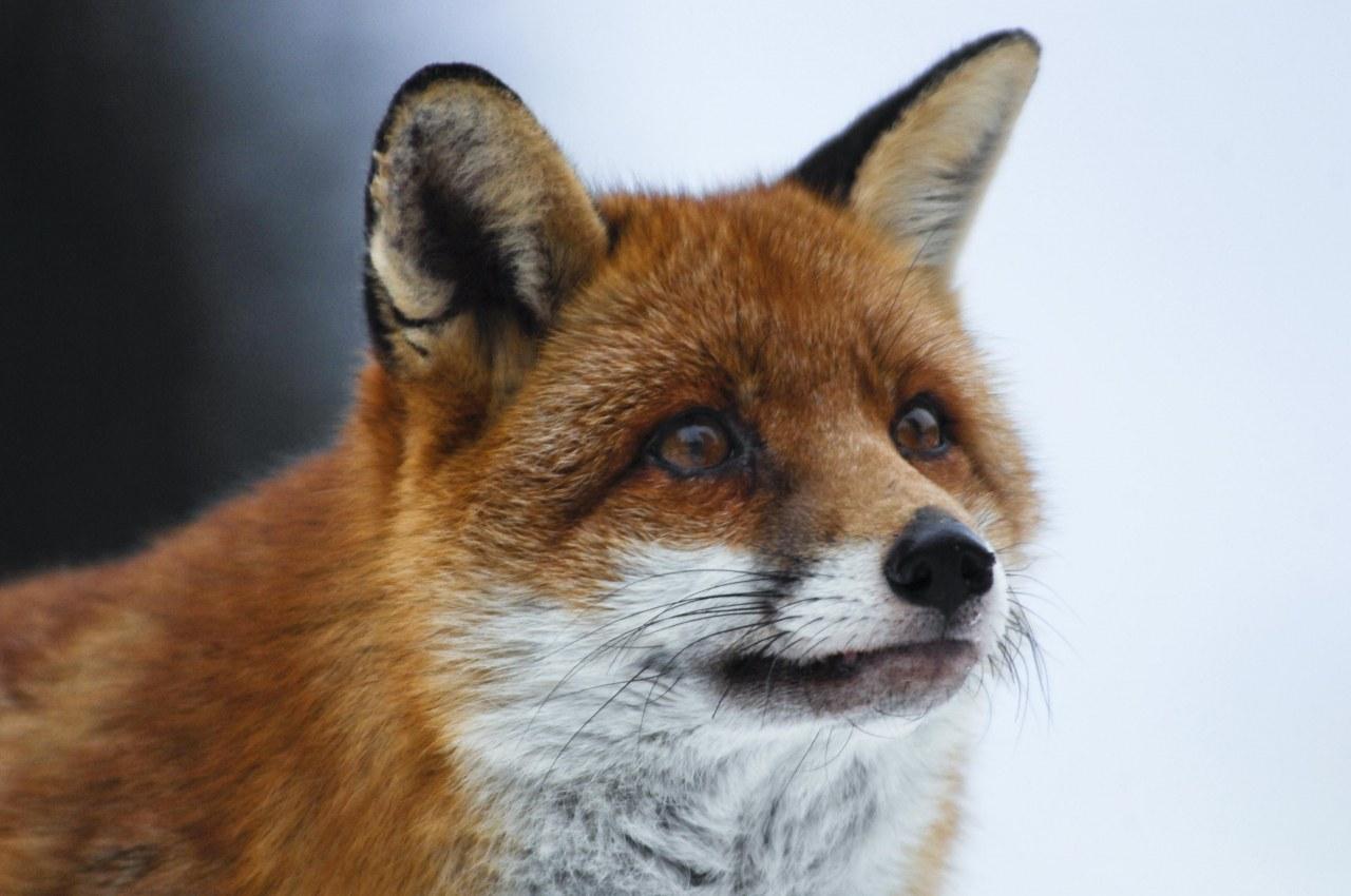 Der Fuchs und das Mädchen - Bild 9