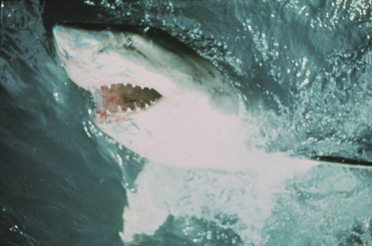 Der weiße Hai - Bild 13