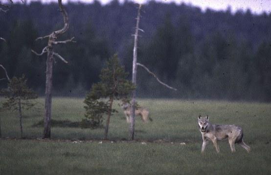 Auf den Spuren der Wölfe - Bild 1