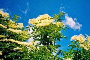 Holunderblüte - Bild 1