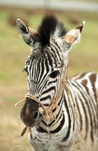 Im Rennstall ist das Zebra los! - Bild 2