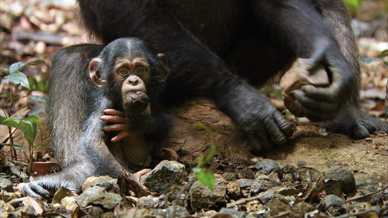 Schimpansen - Bild 1