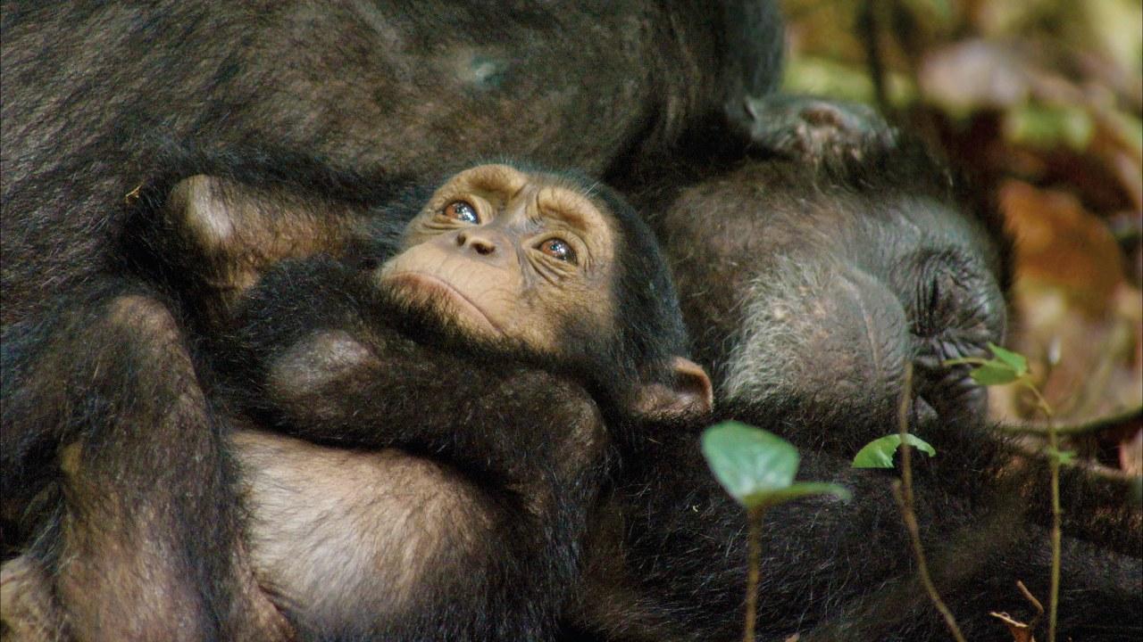 Schimpansen - Bild 2