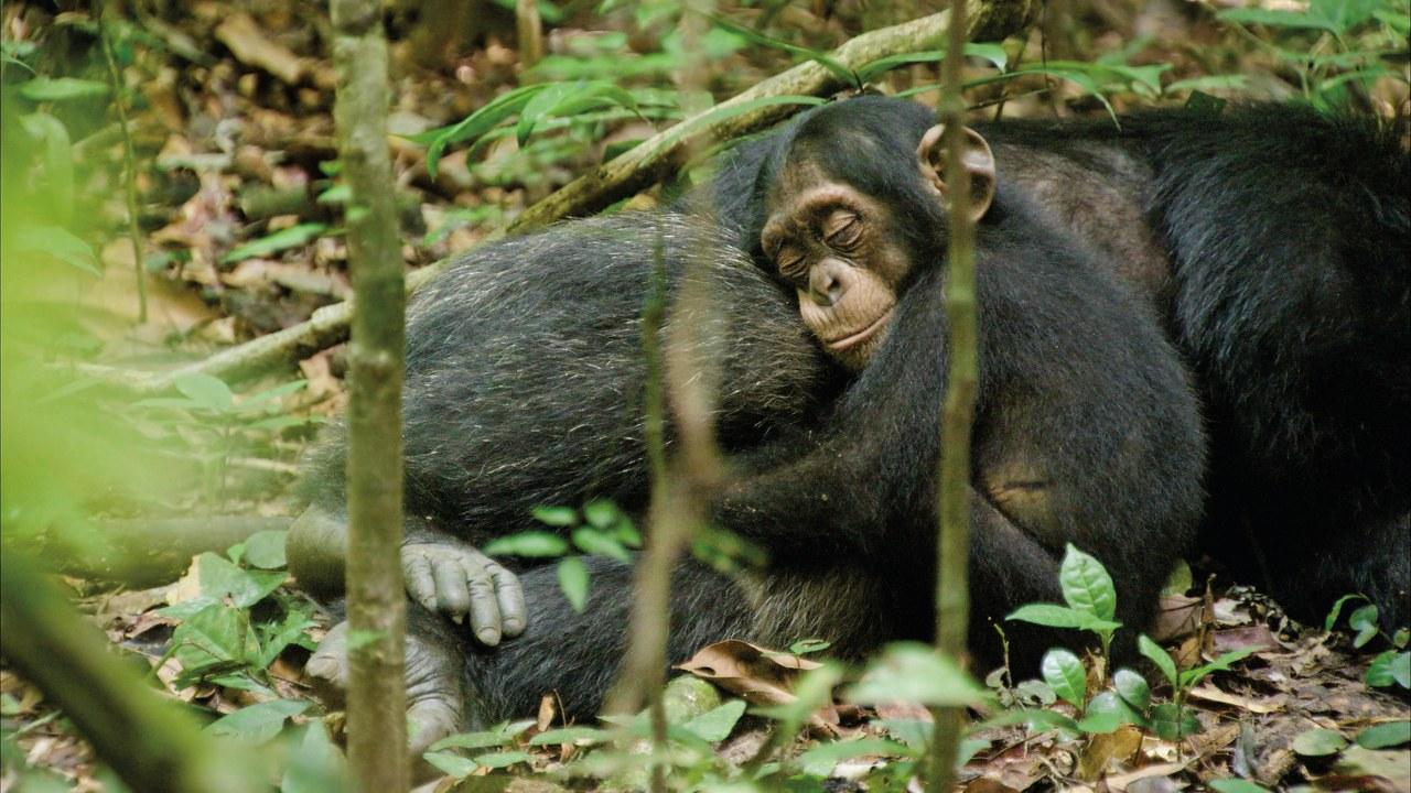 Schimpansen - Bild 3