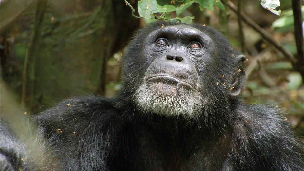 Schimpansen - Bild 4