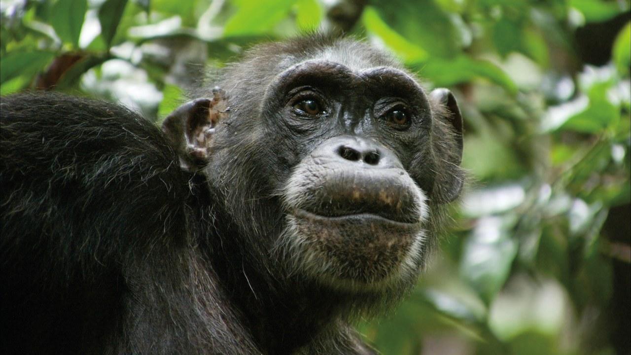 Schimpansen - Bild 5