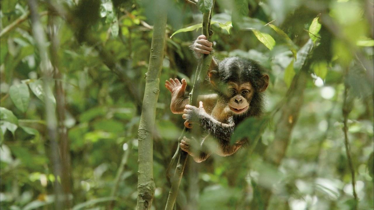 Schimpansen - Bild 6