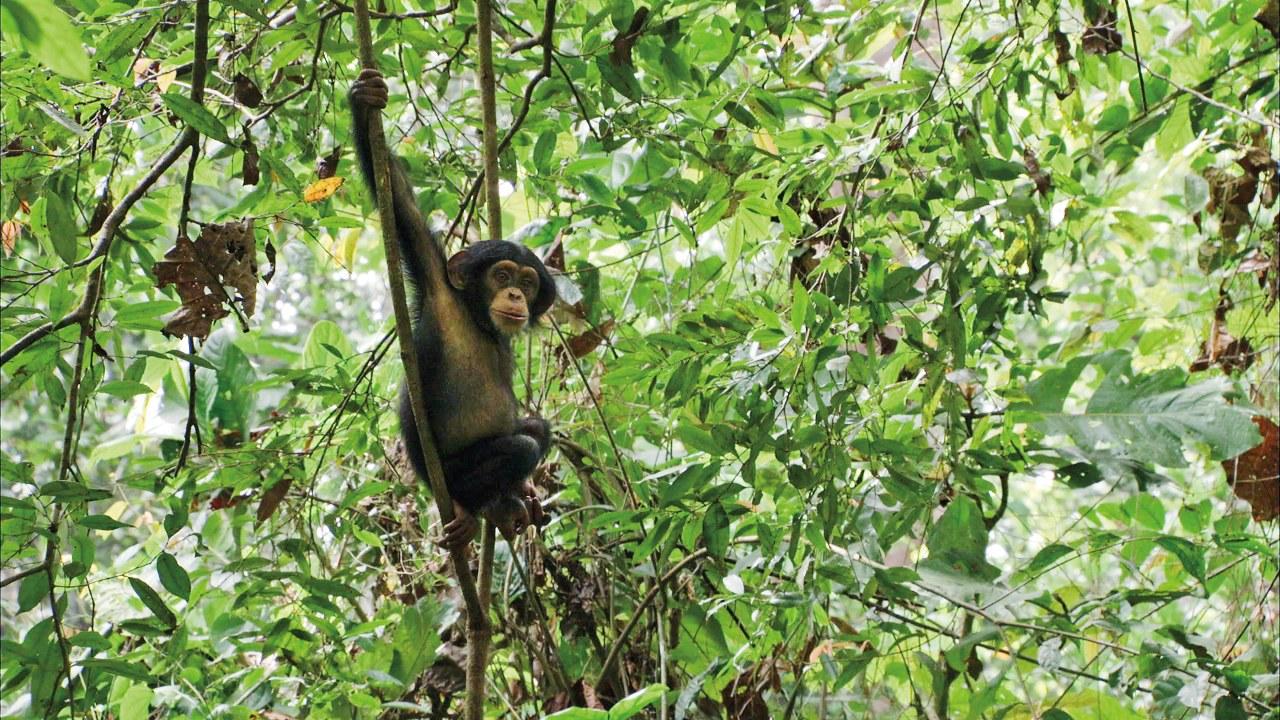 Schimpansen - Bild 7