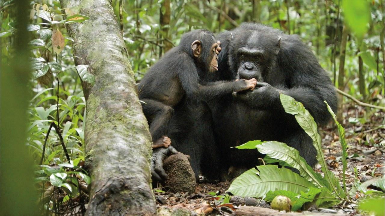 Schimpansen - Bild 8