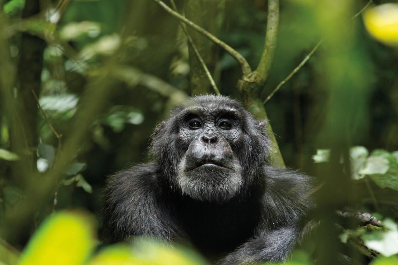 Schimpansen - Bild 13