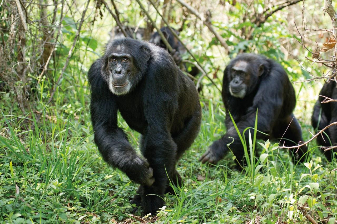 Schimpansen - Bild 14