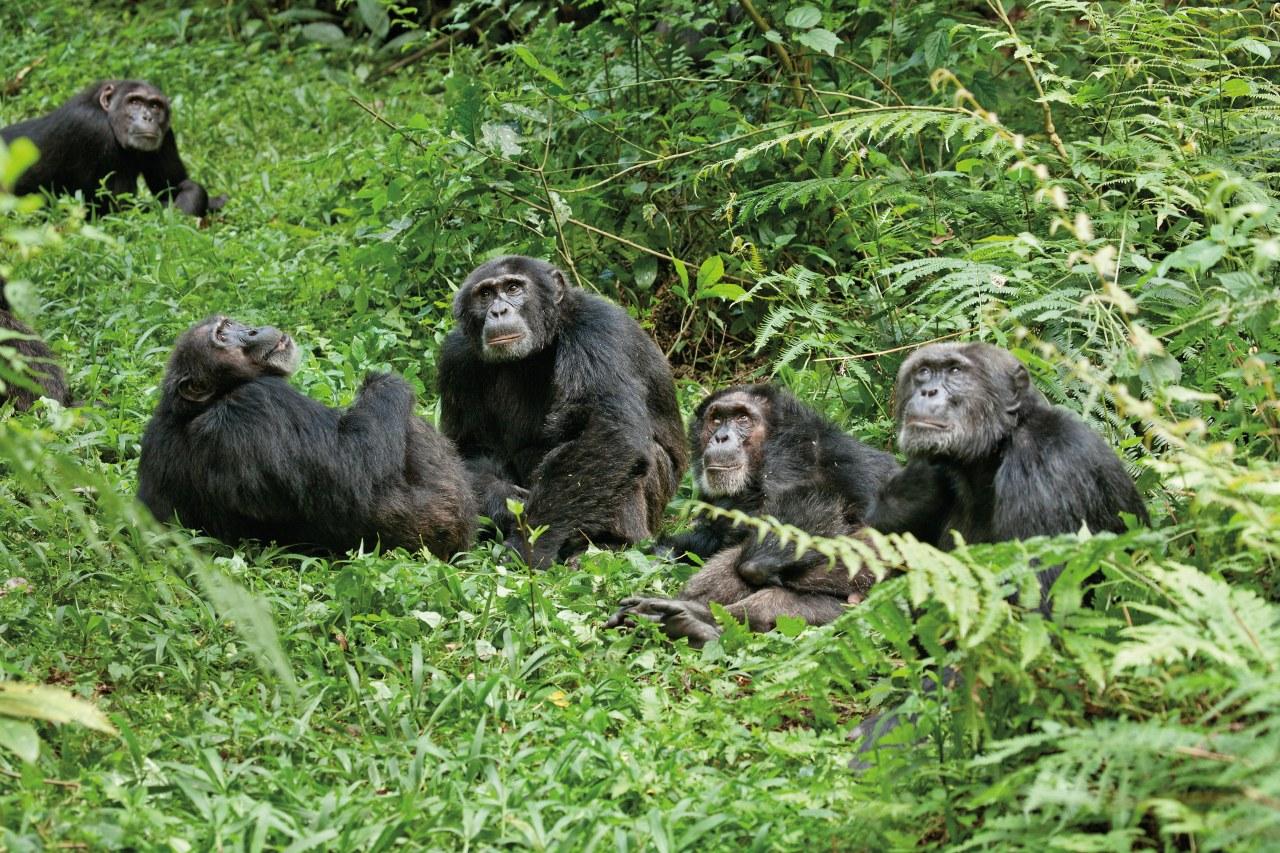 Schimpansen - Bild 15
