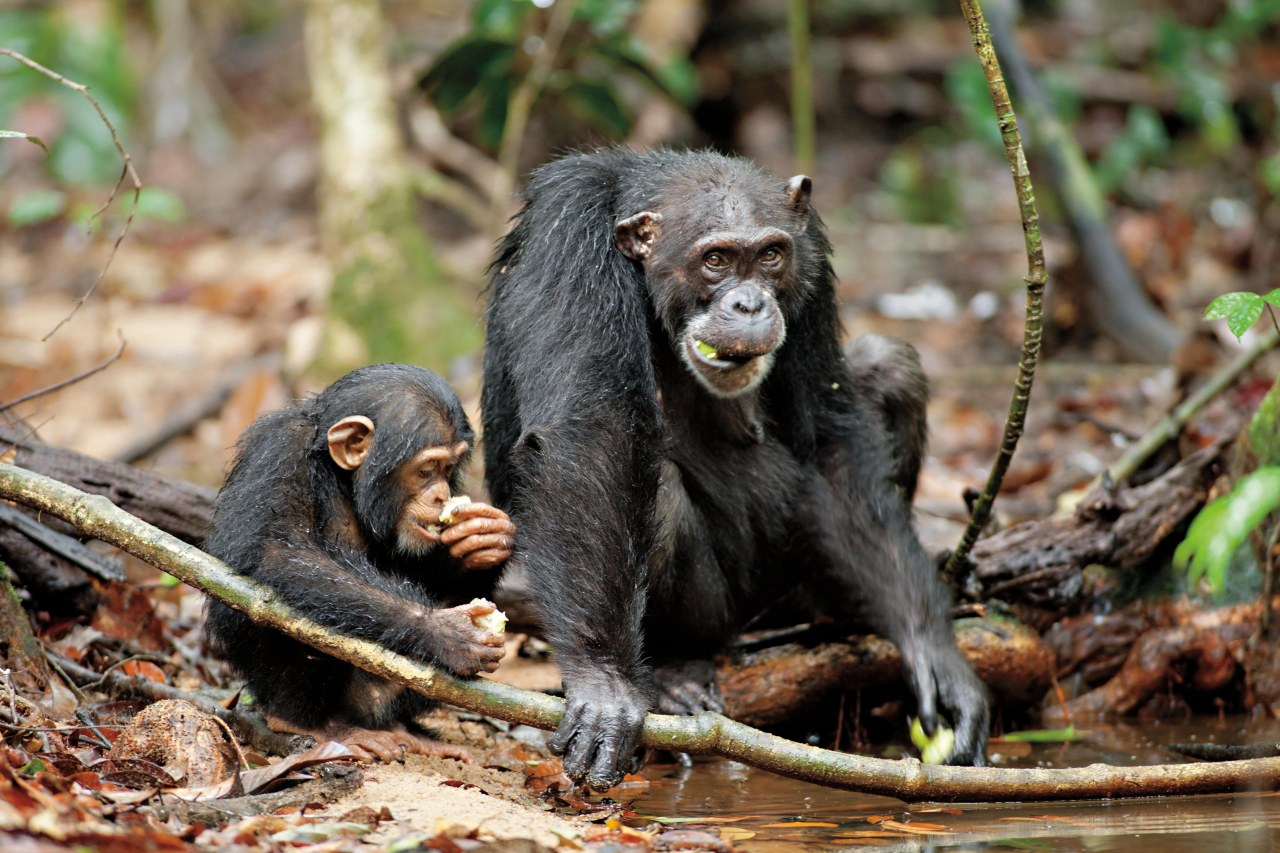 Schimpansen - Bild 17