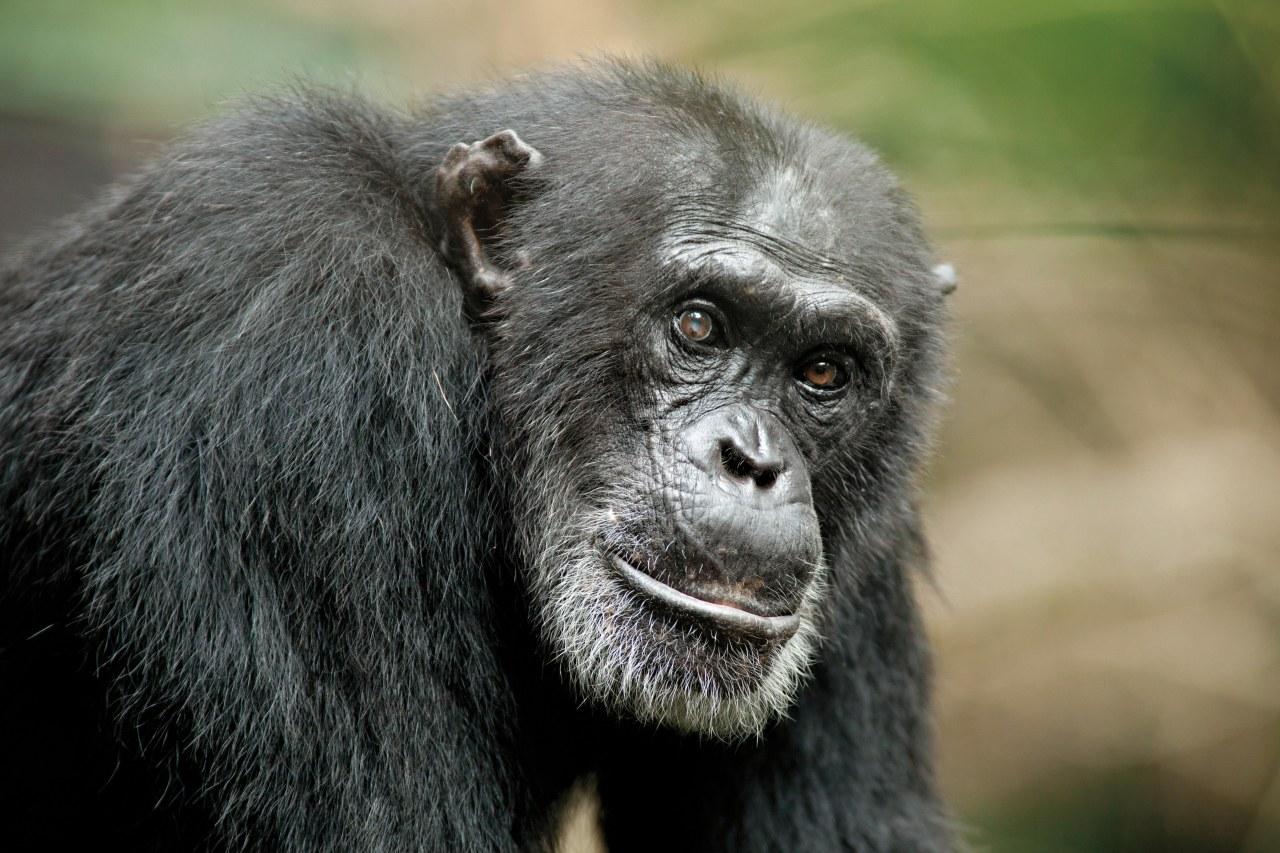 Schimpansen - Bild 10