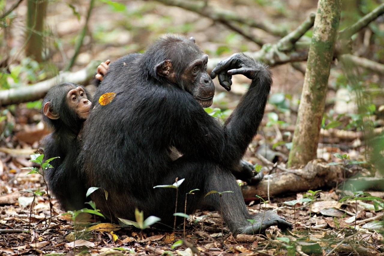 Schimpansen - Bild 11
