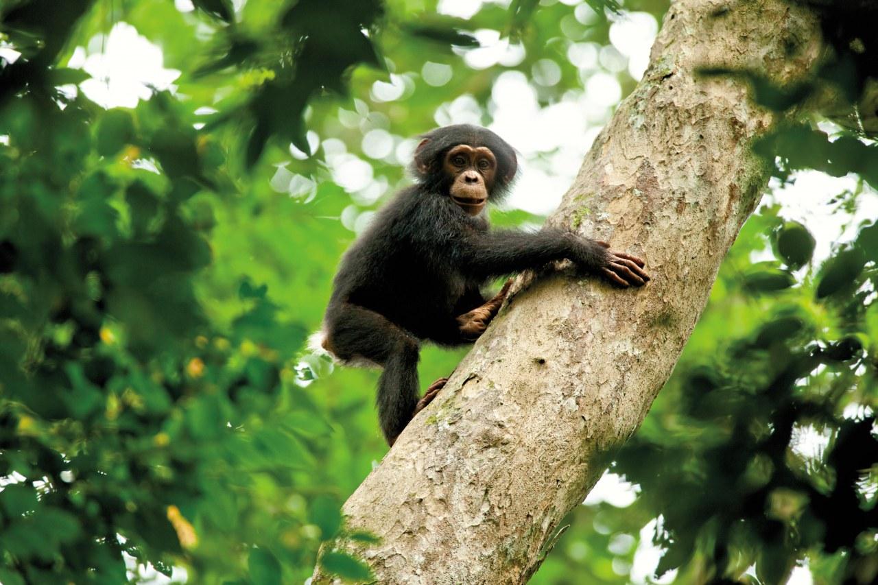 Schimpansen - Bild 20