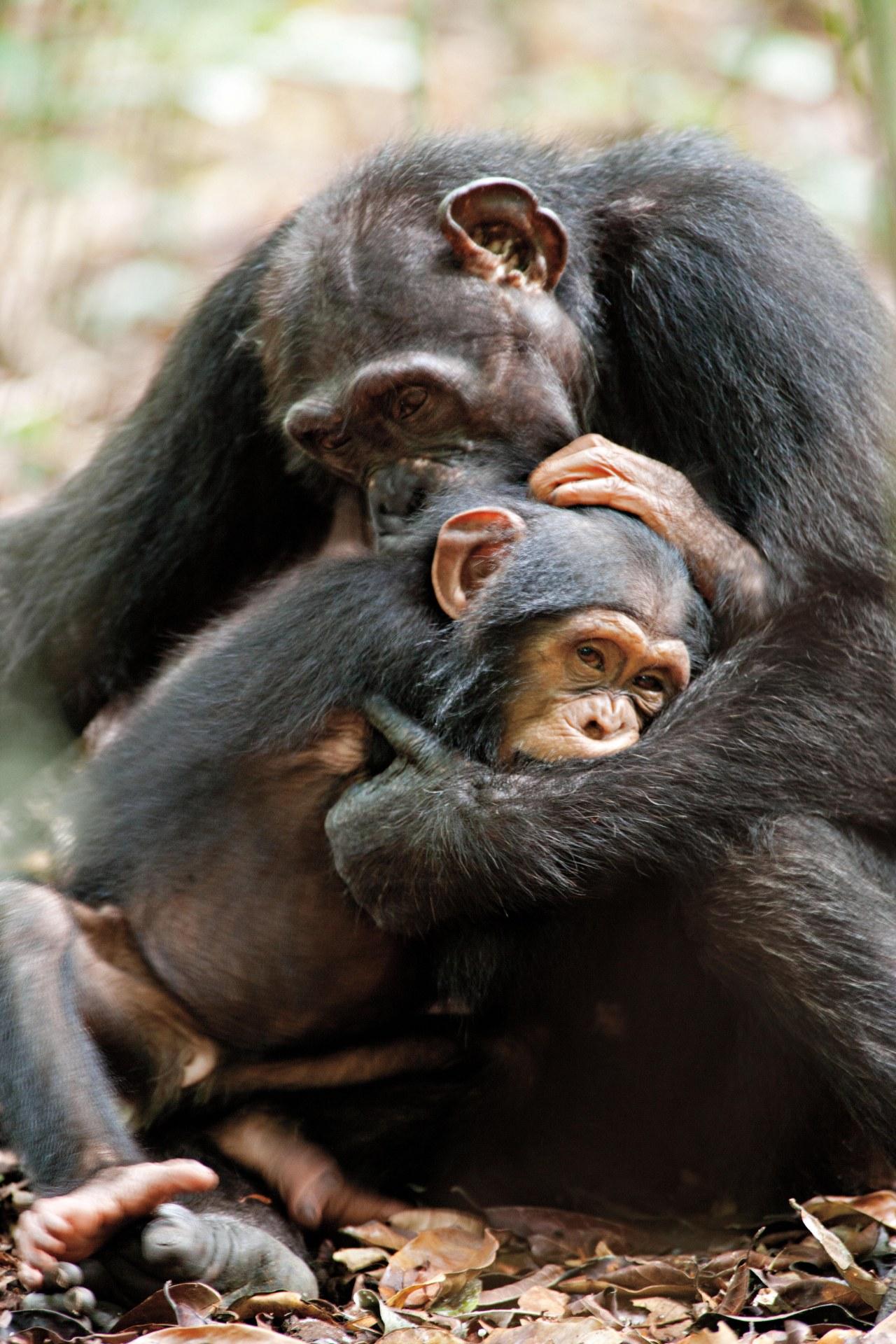 Schimpansen - Bild 21