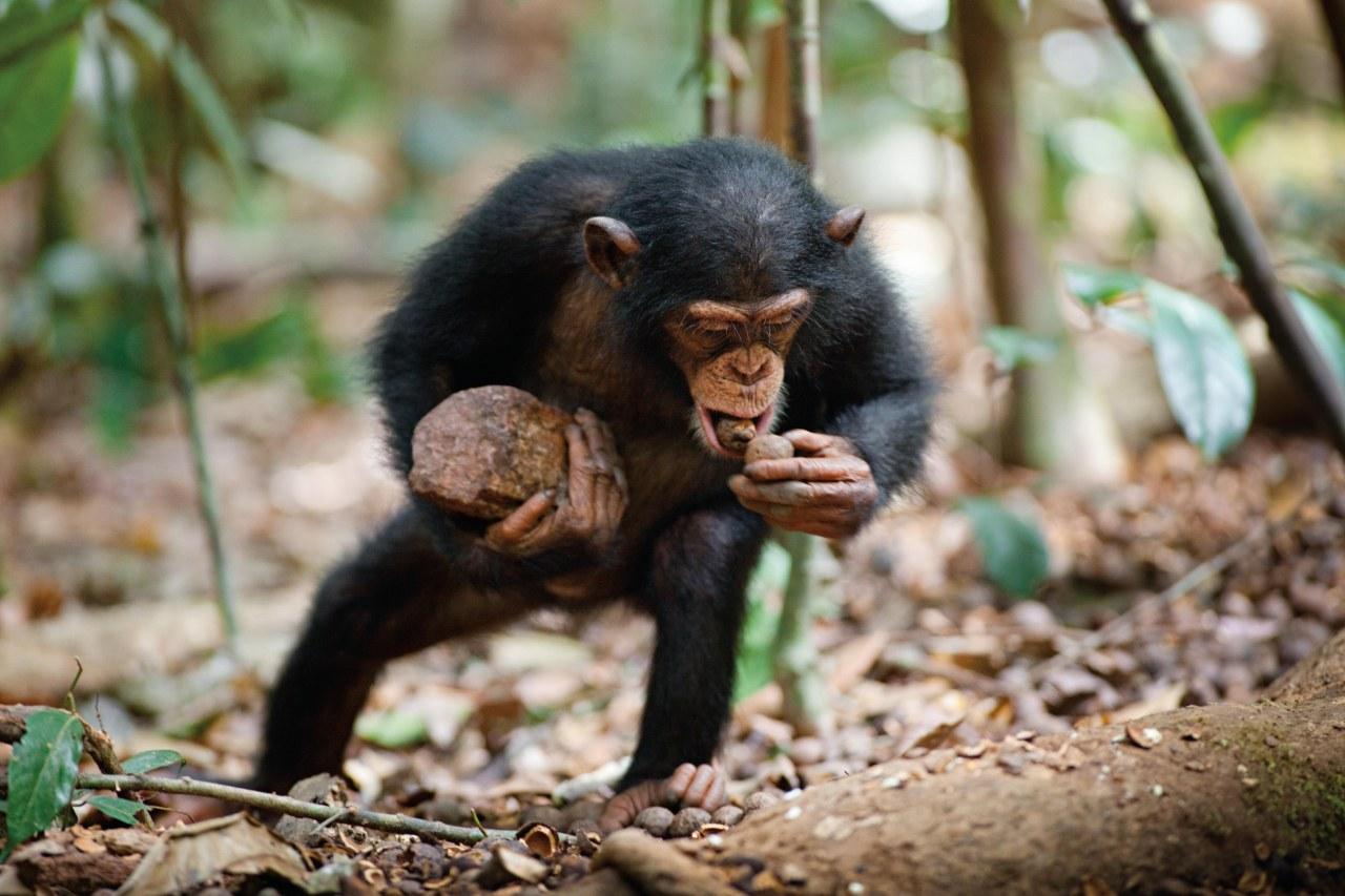 Schimpansen - Bild 23