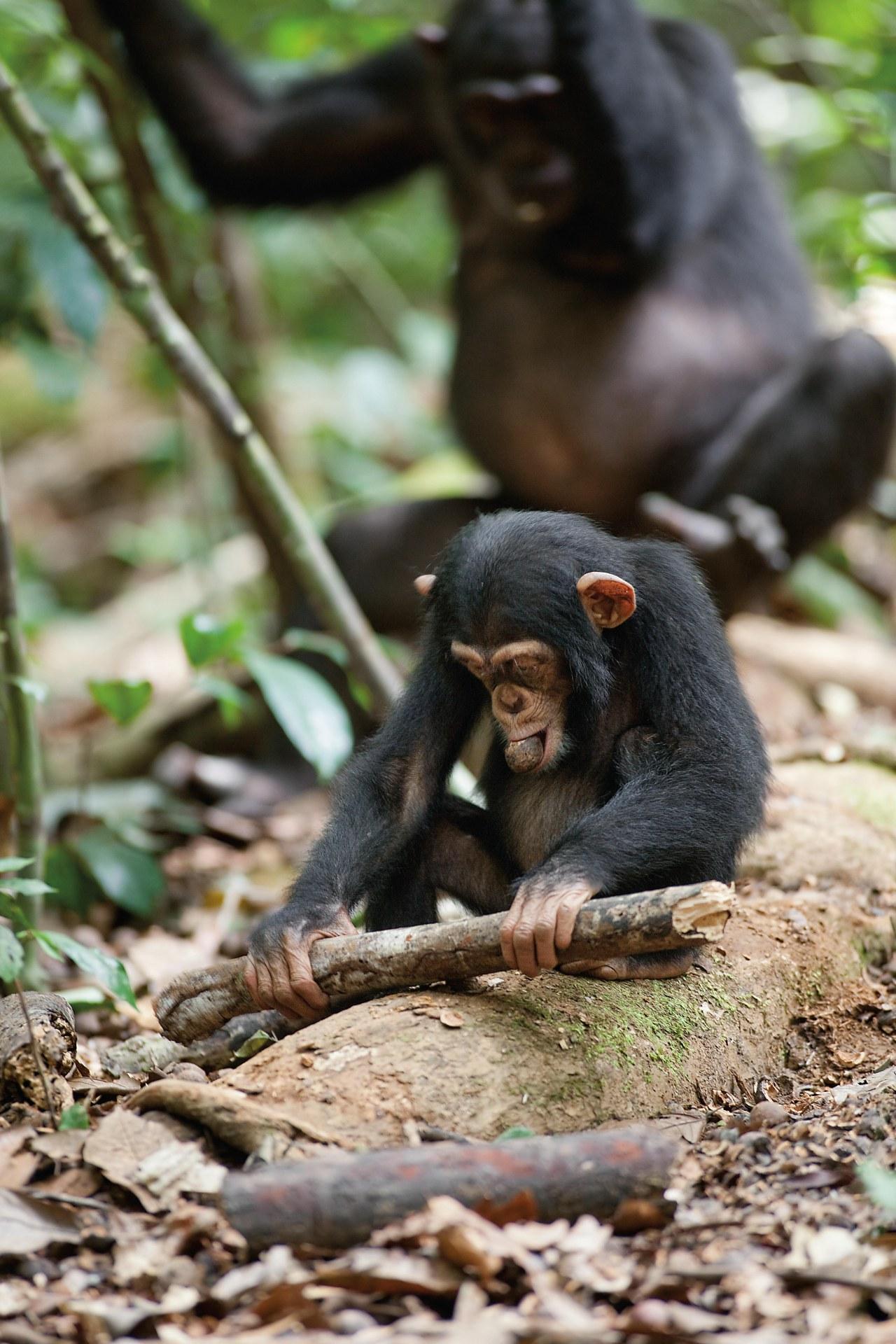 Schimpansen - Bild 22